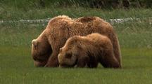 Grizzly Bear Brown Bear Female With Cub Feeding On Grass Sedges Wildlife Nature Alaska Scenic