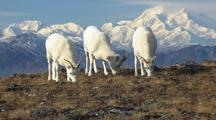 Cu Dall Sheep Feeding Then Pull To Ms Including Denali Wildlife Mammals Feeding Denali Alaska