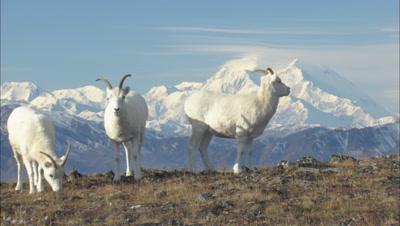Pull From Mt. Denali To Dall Sheep On Tundra Wildlife Mammals Feeding Denali Alaska