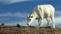 Dall Sheep Feeding With Deep Blue Sky In Background Wildlife Mammals Feeding Denali Alaska