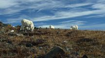 Tilt Up From Tundra To Reveal Dall Sheep Feeding Wildlife Mammals Feeding Denali Alaska