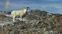 Slow Push In On Dall Sheep Feeding Then Looks Up At Camera Wildlife Mammals Feeding Denali Alaska