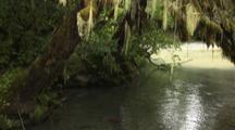Tilt Down To Reveal Sockeye Salmon Swimming Up Stream Through Alaska Rainforest