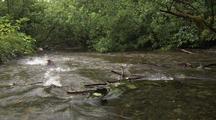 Sockeye salmon swimming up stream through Alaska rainforest