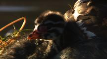 Red Necked Grebe Extreme Close Up Of Striped Fuzzy Chick As Adult Brings Fish To Nest