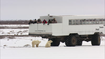 Polar Bear Ecotourism Travel To Arctic Climate Change Global Warming People Viewing From Tundra Buggy