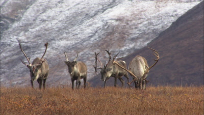 caribou on tundra, National monument Arctic National Wildlife Refuge ANWR 50th anniversary