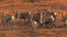 Caribou in Alaska north slope migrate across tundra alaska wildlife ANWR