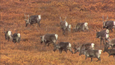 Caribou in Alaska north slope migrate across tundra alaska wildlife ANWR