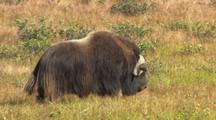Musk Ox Muskox Arctic Alaska National Park Prehistoric Arctic Animal Keeping Warm Overheat Stay Warm Hd