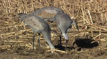 Three Sandhill Cranes Feverishly Dig With Bills In Soil Among Dried Corn Stalks Close Up Tilt Reveal