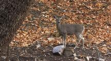 Deer In Forest Walking Then Stops And Looks  At Camera Ears Listening Alert Curious