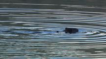 Beaver Swimming In Pond Building Dam Water Ripples