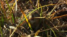 Lemming on tundra in northern alaska, prey species, arctic rodent