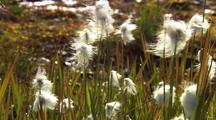 Field Of Alaska Cotton Grass, Pan To Insect