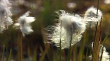 Field Of Alaska Cotton Grass