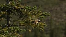White Crowned Sparrow In Spruce Tree Cu Alaska Birds, Songbirds