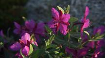 Alaska Wildflowers, Possibly Fireweed, On Arctic Tundra