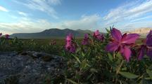 Alaska Wildflowers, Possibly Fireweed, With Mountains Behind