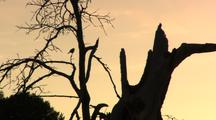 Oak Tree Snag And Bird Silhouetted By Sunset Sky
