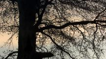 Oak Tree Branches Silhouetted By Sunset, Moody, Tranquil