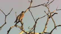 Bird, Possibly A Robin, Perches In Oak Tree Branches
