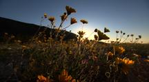 Wildflowers Bloom In The Desert At Sunrise