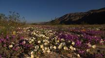 Wildflower desert bloom colors in the desert