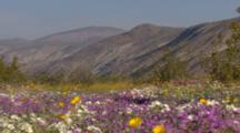 Pull To Wide Shot Carpet Of Desert Flowers