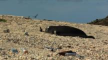 Monk Seal On Shore, Trash, Nudges Bottle
