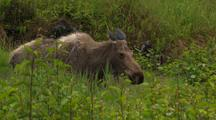 Moose Walking And Eating In Green Thicket