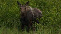 Adult Female Moose Looks Up Listens With Big Ears While Standing In Green Vegetation