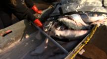Bristol Bay Salmon Alaska Wild Salmon Salmon Being Emptied From Brailer Bag For Processing Fishing Fishermen Pebble Mine