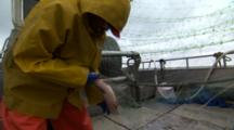 Commercial Fisherman Pull Salmon Out Of Gill Net And Throw Them Into The Hold