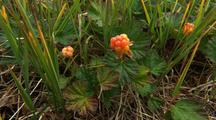 Salmon Berries, Food For Arctic Animals, Native People