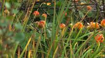 Salmon Berries, Food For Arctic Animals, Native People, Berry