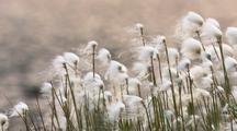 Cotton Grass Near Lake In Alaska