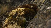 Pan To Reveal Moss And Lichen, Vegitation Arctic, Dall Sheep, Caribou Food