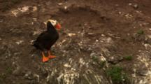 Tufted Puffin Stands At Rookery Then Gets Run Off By Seagull