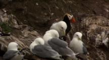 Kittiwakes And Puffins At Alaska Rookery