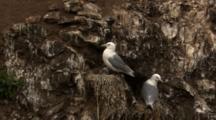 Black Legged Kittiwake Sits On Nest With Downy Chicks