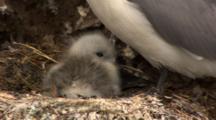 Black Legged Kittiwake Sits On Nest With Downy Chick