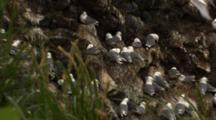 Black Legged Kittiwakes Nesting At Rookery