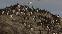 Murres Mix With Kittiwakes At Rookery