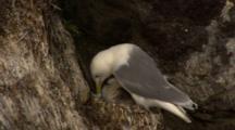 Black Legged Kittiwake Sits On Nest Brooding Downy Chick