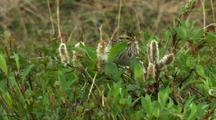 Savannah Sparrow Pecks Around Tundra Willows