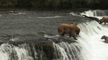 Brown grizzly bears catching jumping salmon jump into mouth wild alaska wildlife katmai sockeye