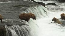 Brown Grizzly Bear And Cubs Catching Jumping Salmon Jump Into Mouth Wild Alaska Wildlife Katmai Sockeye
