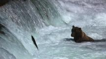 Brown Grizzly Bear Waits At Bottom Of Waterfall For Salmon