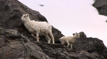 Dall Sheep Lamb On Rocky Outcrop Alaska Wildlife